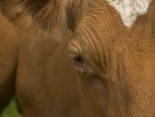 Free Cows Head Close Up Stock Photos - 134033