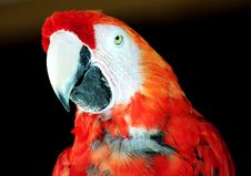 Free Parrot Royalty Free Stock Photo - 134755