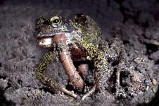 Free Common Frog Eating An Earth Wom Stock Photography - 135102