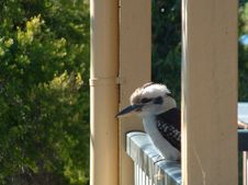 Free Kookaburra Stock Photos - 135143