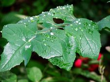 Free Rain Leaf Royalty Free Stock Photo - 135955