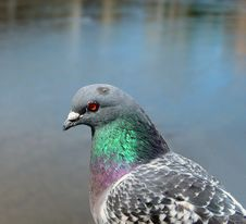Free Pigeon Profile Stock Photography - 136352