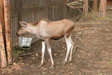 Free Young Elk Stock Photos - 136493