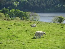Free Sheep In The Country Stock Photos - 138493