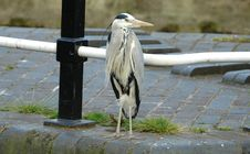 Free Common Grey Heron Royalty Free Stock Photo - 139135