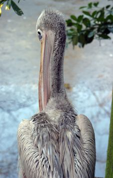 Pelican (Pink-Backed) Royalty Free Stock Images