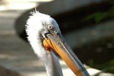 Free Pelican Portrait Royalty Free Stock Image - 139616