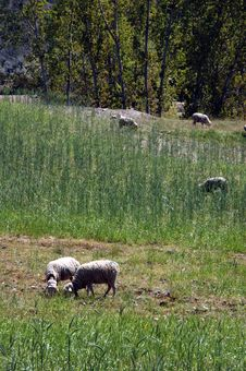 Free Sheeps Eating Grass Royalty Free Stock Photography - 139657