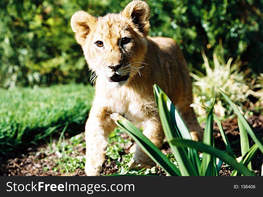 Lion Cub 01