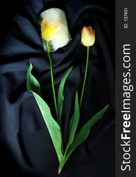 Two ice tulips