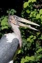 Free Marabou Stork Royalty Free Stock Image - 1305186
