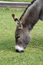 Free Donkey Eating Royalty Free Stock Image - 1307386