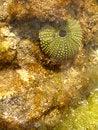 Free Sea Urchin Stock Photo - 1307480