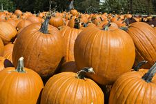 Free Pumpking Patch Stock Image - 1300141