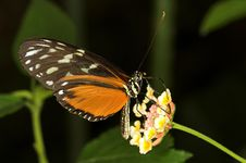 Free Longwing Butterfly Royalty Free Stock Image - 1300986