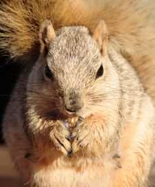 Free Squirrel Close Up Stock Photos - 1302133