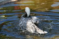 Free Duck In Water Royalty Free Stock Images - 1302289