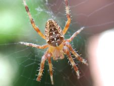 Free Male Garden Spider Royalty Free Stock Photography - 1303107