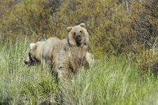 Free Brown Bear And Bear Cub Royalty Free Stock Photography - 1304167