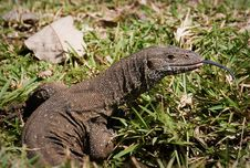 Free Monitor Lizard Royalty Free Stock Photography - 1304457