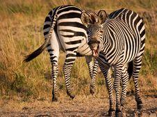 Free Yawning Zebra Royalty Free Stock Photography - 1304567