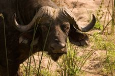 Free African Buffalo Stock Images - 1304664