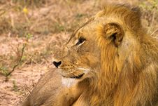 Free Lounging Lion Royalty Free Stock Images - 1304799