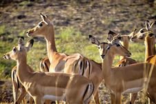 Free Herd Of Impala Royalty Free Stock Photography - 1304807