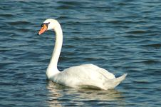 Free Swan In Water Stock Photos - 1304993