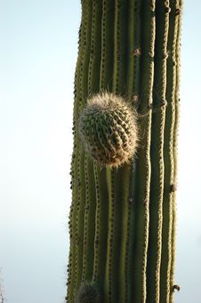 Free Cactus Royalty Free Stock Photography - 1305157