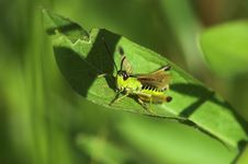 Free Grasshopper On Leaf Stock Photos - 1305173