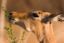Free Browsing Impala Stock Photo - 1305190