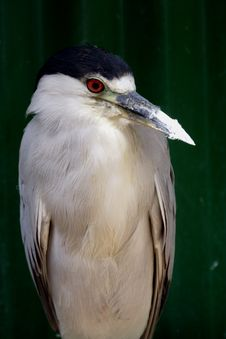 Free Black Crowned Night Heron Stock Image - 1305251