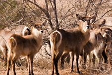 Free Waterbuck With Baby Royalty Free Stock Images - 1305279