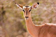 Free Impala Stock Images - 1305284