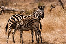 Zebra With Baby Stock Photo