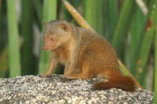 Free Mongoose1 Stock Photos - 1305853