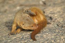 Free Mongoose1 Royalty Free Stock Images - 1305939