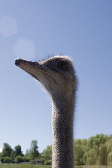 Free Ostrich Head Royalty Free Stock Images - 1306159