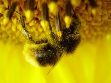 Free Shaggy Bumblebee On A Sunflower Stock Images - 1306204
