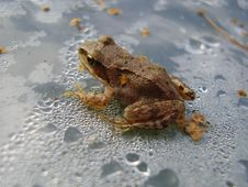 Frog In Drops Of Water Royalty Free Stock Photography
