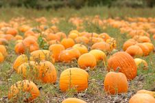 Free Pumpkin Field Stock Photo - 1306880