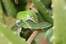 Close-up Of Mating Lizards Royalty Free Stock Photos
