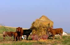 Free Cattle Feeding Royalty Free Stock Images - 1307349