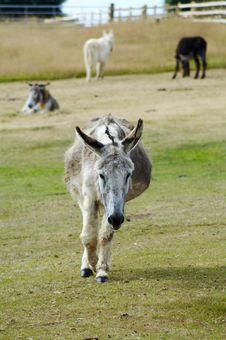 Free Donkey Walking Stock Photo - 1307390