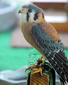 Free Kestral01 Royalty Free Stock Photography - 1307577