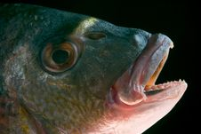 Dorada Fish Head Stock Photos