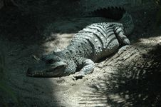 Free Crocodile Stock Images - 1309224