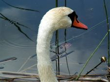 Free Swan Royalty Free Stock Photos - 1309668