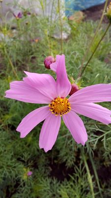 Free Cosmea - Mexican Guest On The Flower Garden And In The Garden Stock Image - 130021101